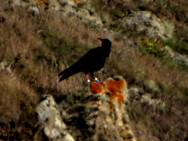 Suivi 2013 du Crave à bec rouge (Pyrrhocorax pyrrhocorax) en Bretagne: Entre Belle-Île et le Cap Sizun 09810