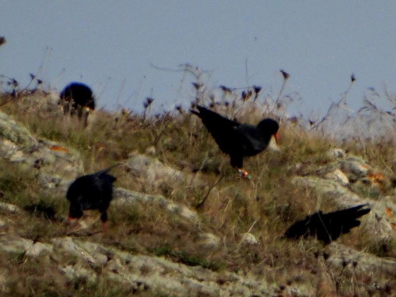 Suivi 2013 du Crave à bec rouge (Pyrrhocorax pyrrhocorax) en Bretagne: Entre Belle-Île et le Cap Sizun 09910