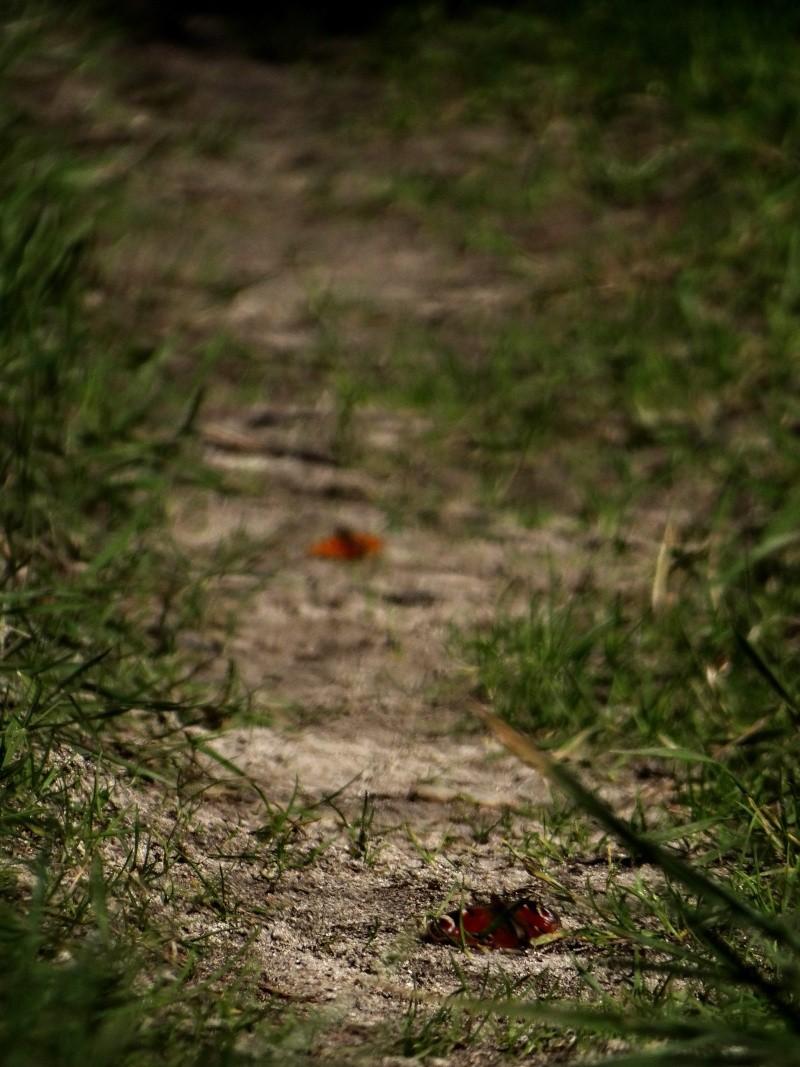 Premières observations de papillons en 2014 10012