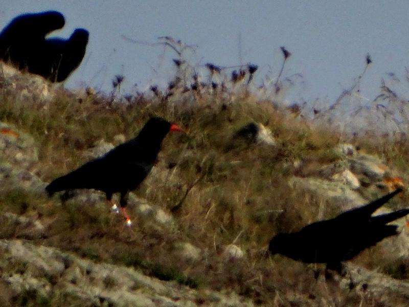 Suivi 2013 du Crave à bec rouge (Pyrrhocorax pyrrhocorax) en Bretagne: Entre Belle-Île et le Cap Sizun 10110