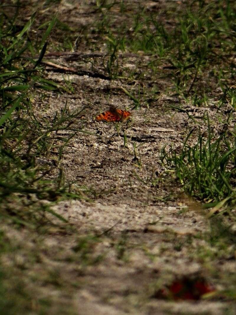 Premières observations de papillons en 2014 10111