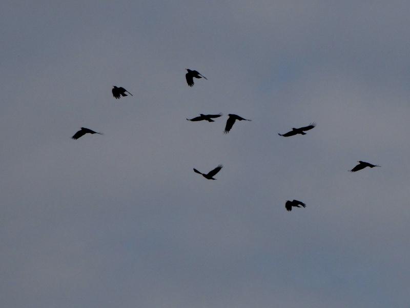Suivi 2013 du Crave à bec rouge (Pyrrhocorax pyrrhocorax) en Bretagne: Entre Belle-Île et le Cap Sizun 10310