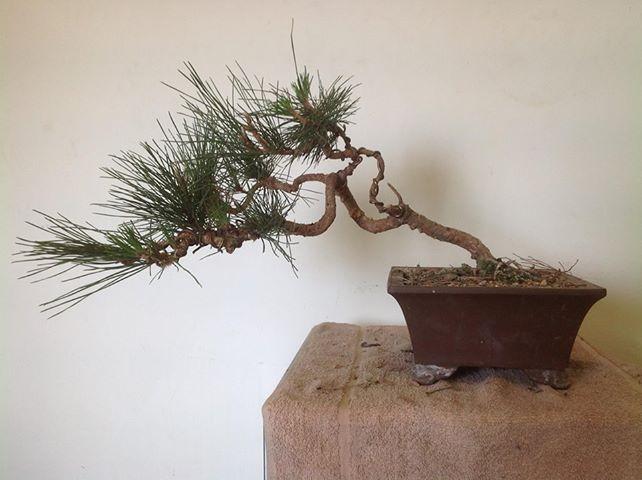 Creating Windswept Pine A_wind13