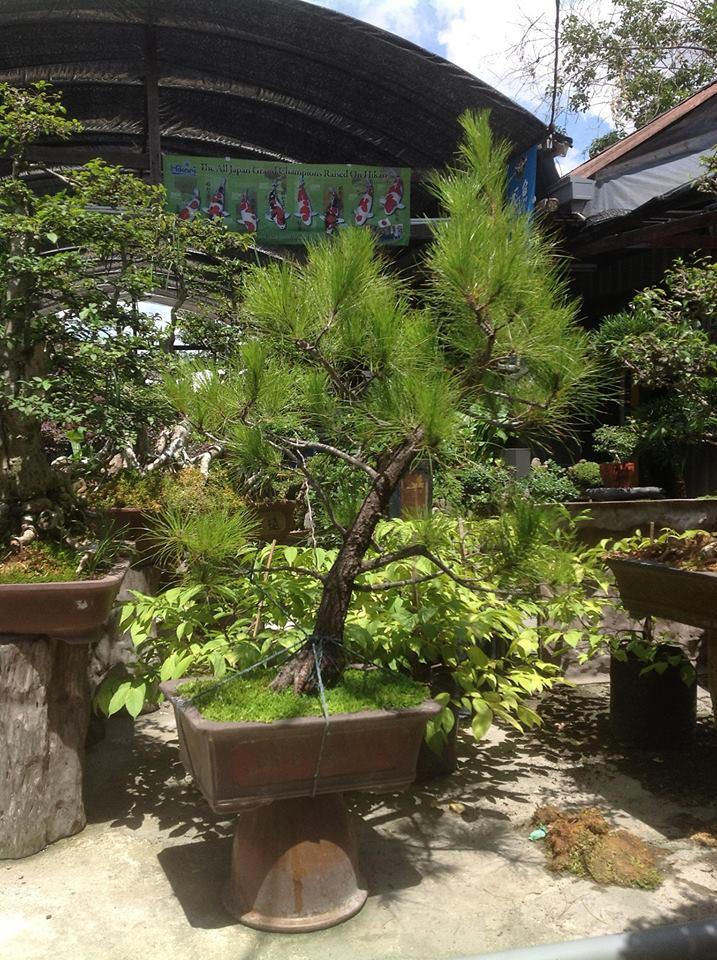 Creating Windswept Pine Caribb11