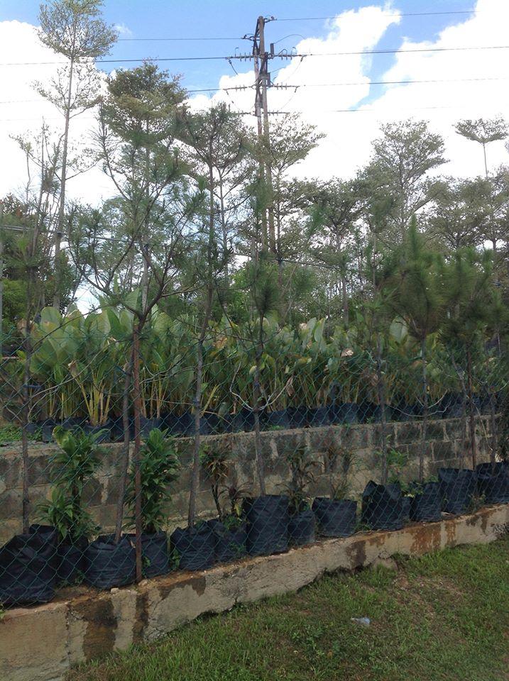 Creating Windswept Pine Caribb13