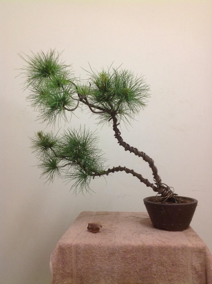 Look Like A Type of Pine Wp112