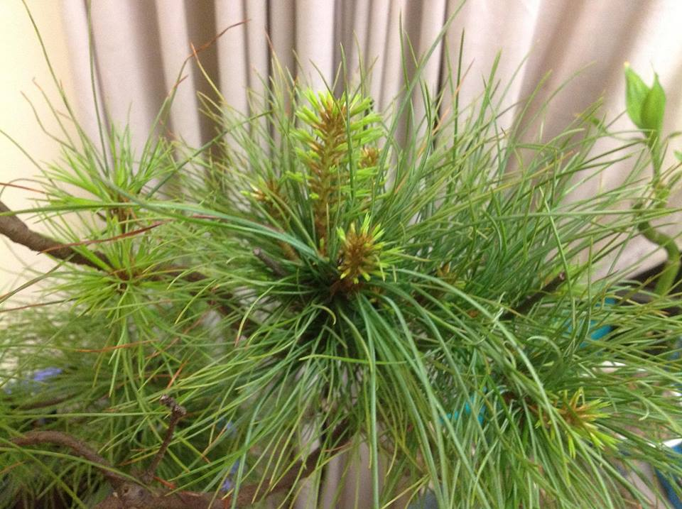 Look Like A Type of Pine Wp311