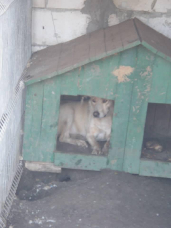 BOX (trois) , croisé labrador, né en 2007 -  Parrainée par Samie + Gage-coeur : (1) Samie -R-F-SOS-SC- Box210