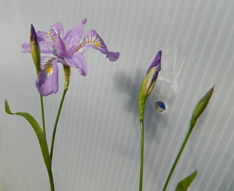 Mes Satsuki- Mes Fleurs - Page 6 Irisgr11
