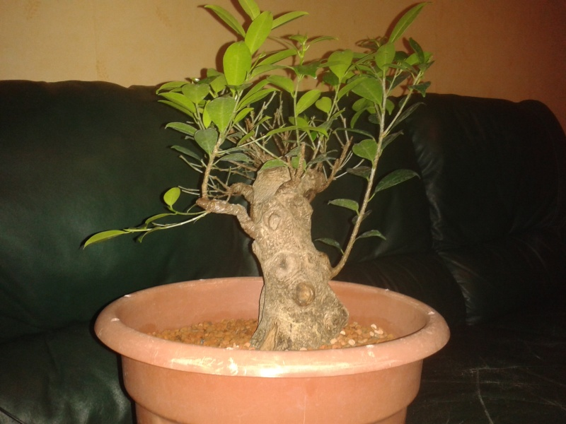 Ficus Microcarpa with huge uros and hollow trunk? 20140312