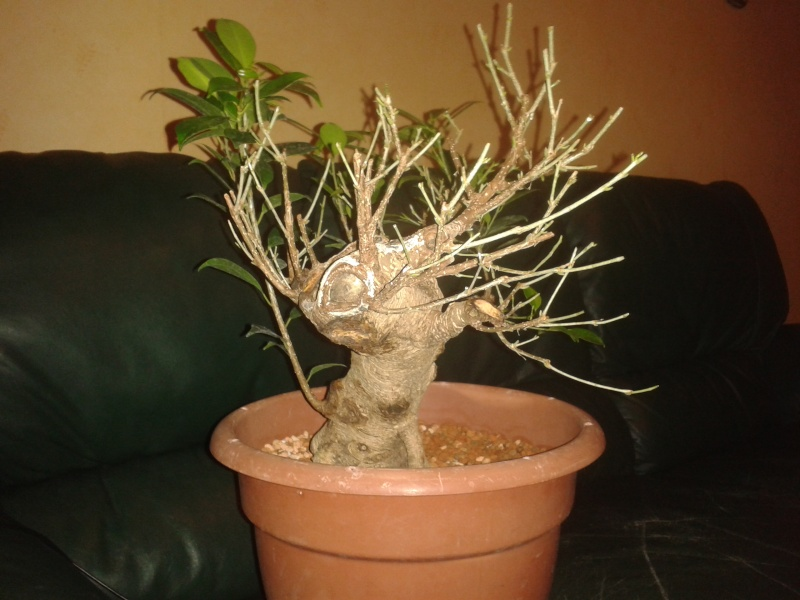 Ficus Microcarpa with huge uros and hollow trunk? 20140313