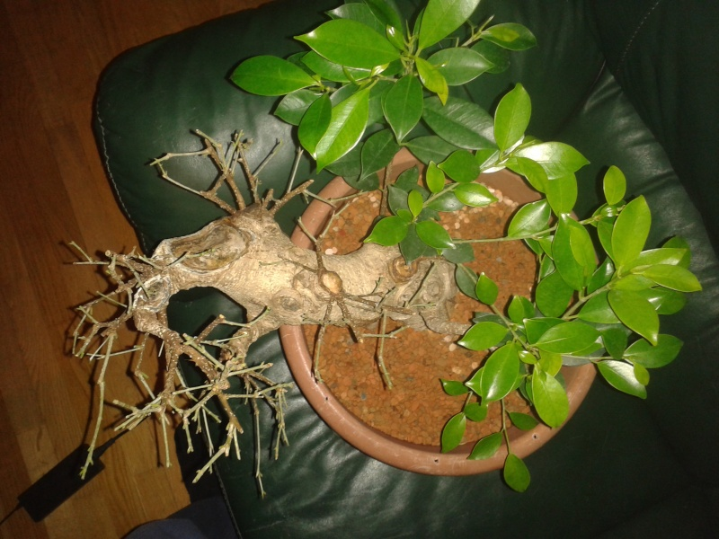Ficus Microcarpa with huge uros and hollow trunk? 20140314