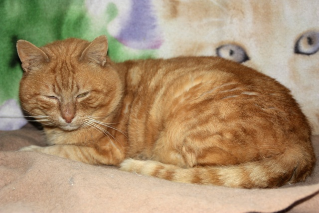 Jupiter 4 ans chat roux Img_1810
