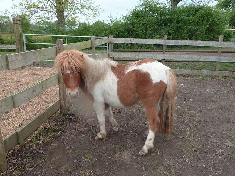 TAGADA - ONC poney typé Shetland né en 2008 - adopté en août 2013 - Page 2 1_taga10