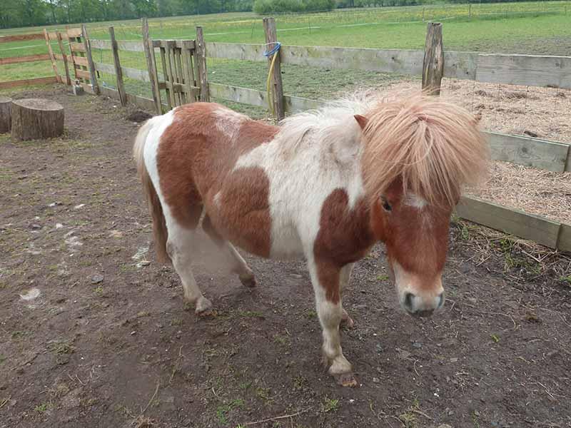 TAGADA - ONC poney typé Shetland né en 2008 - adopté en août 2013 - Page 2 3_taga10