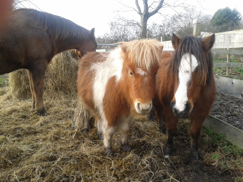TAGADA - ONC poney typé Shetland né en 2008 - adopté en août 2013 Image110