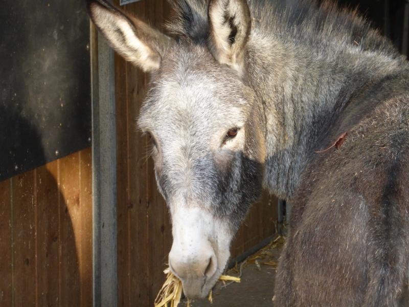 FREDO - âne né en 1995 - adopté en novembre 2012 par Virginie P1010311