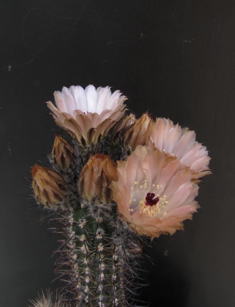 Austrocactus patagonicus Austro10