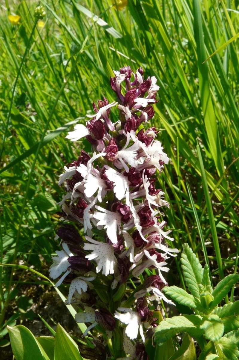 Orchis purpurea Daj_or10