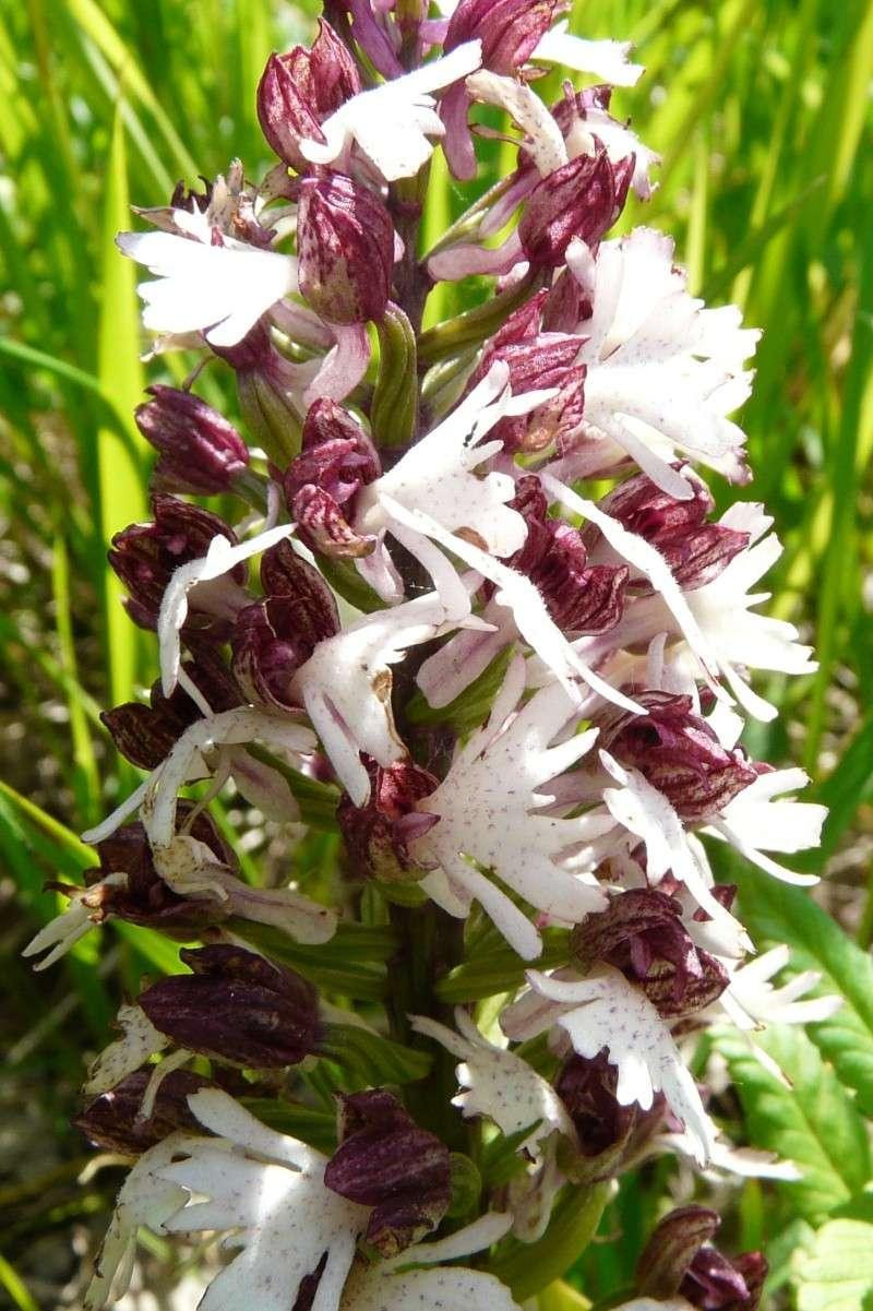 Orchis purpurea Daj_or11