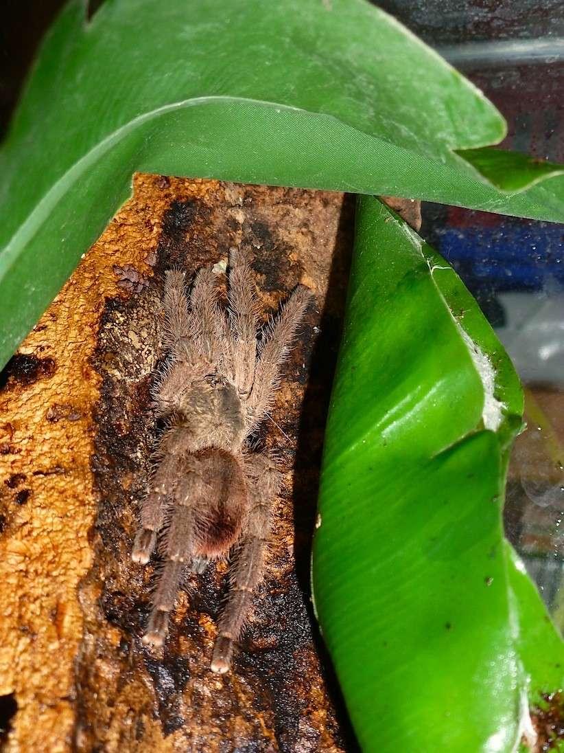 Avicularia laeta P1020915
