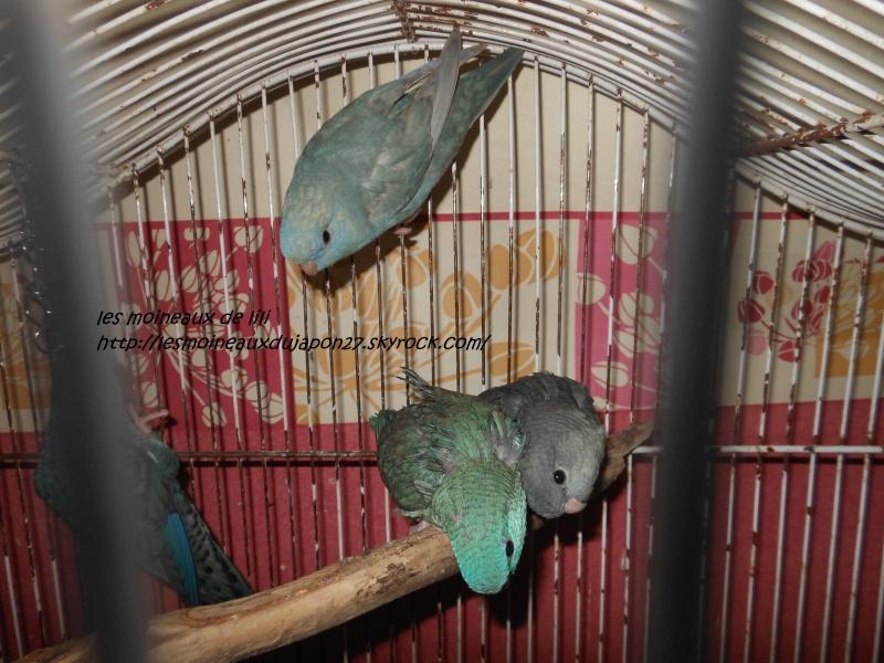 recherche couple de perruche catherine bleu    Dscn6833