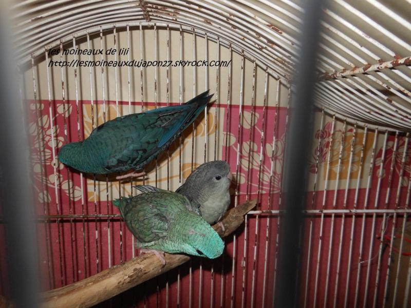 recherche couple de perruche catherine bleu    Dscn6834