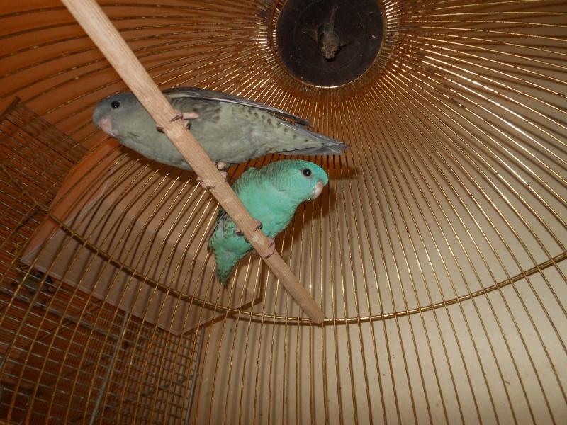 recherche couple de perruche catherine bleu    Dscn7016