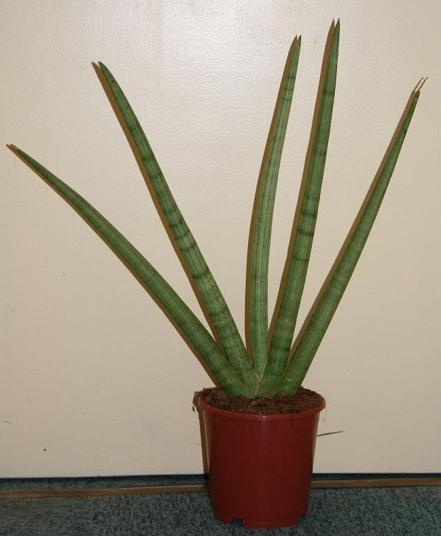 Sansevieria cylindrica 1_01_010