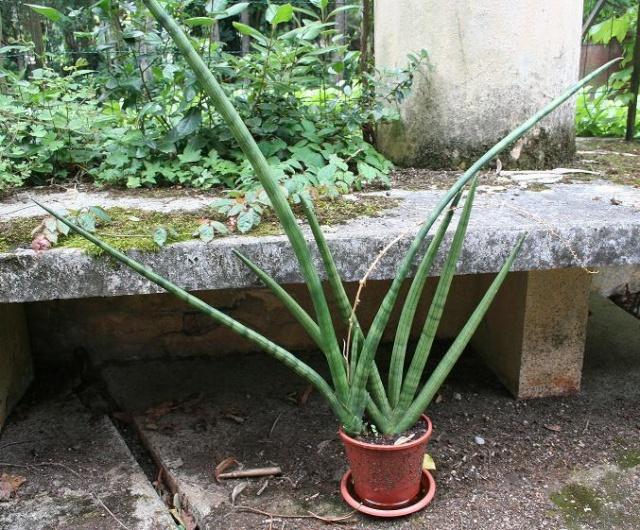 Sansevieria cylindrica 7_06_110