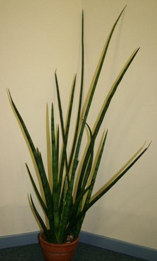 Sansevieria cylindrica 8_11_110