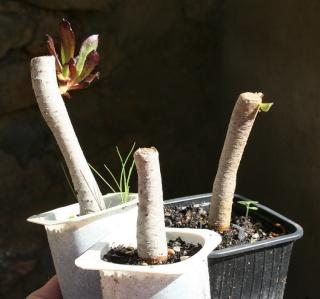 Aeonium arboreum 'Atropurpureum' - Page 3 Img_8110