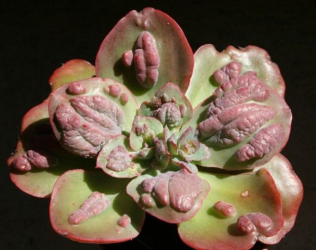 Echeveria gibbosa Img_8216