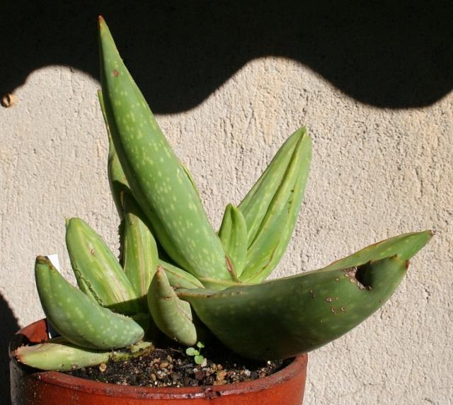 Aloe striata f. monstruosa variegata Img_8218