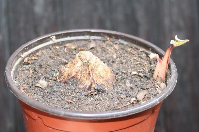 Colocasia esculenta - taro - Page 3 Img_8513