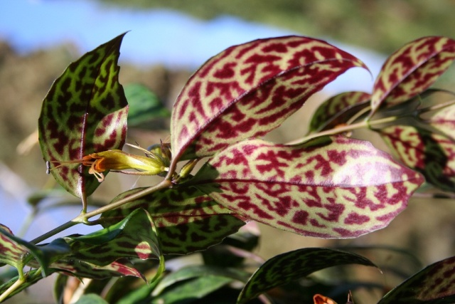 Aeschynanthus marmoratus [devinette] Img_8525