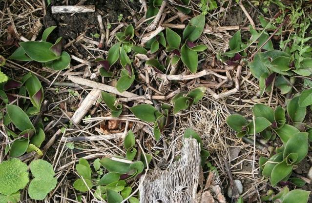 Tradescantia cerinthoides (=Tradescantia blossfeldiana) Img_8730
