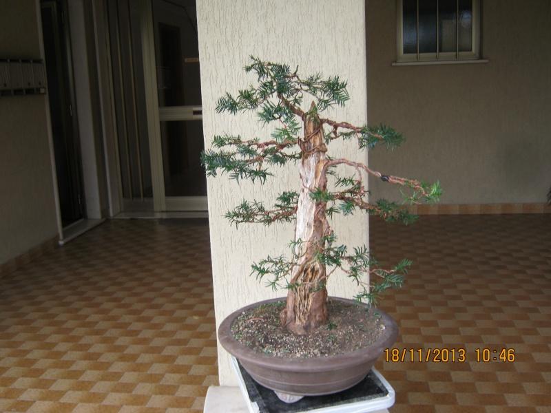 Un tasso che ce la mette tutta per diventare bonsai. Colori11