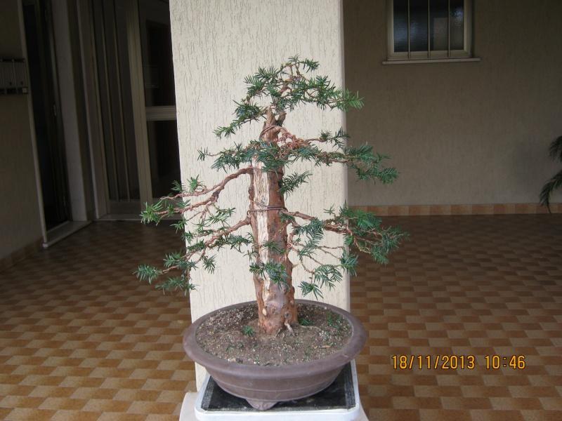 Un tasso che ce la mette tutta per diventare bonsai. Colori12