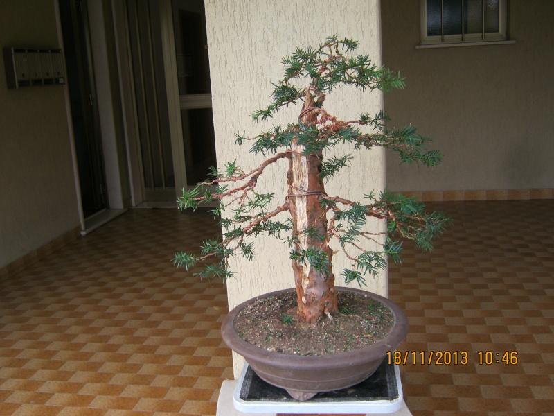 Un tasso che ce la mette tutta per diventare bonsai. Colori13