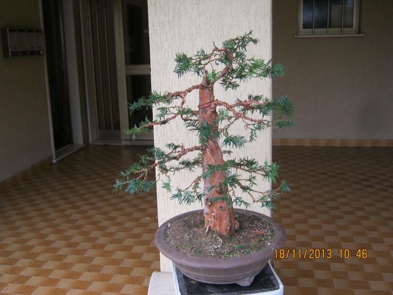 Un tasso che ce la mette tutta per diventare bonsai. Colori14