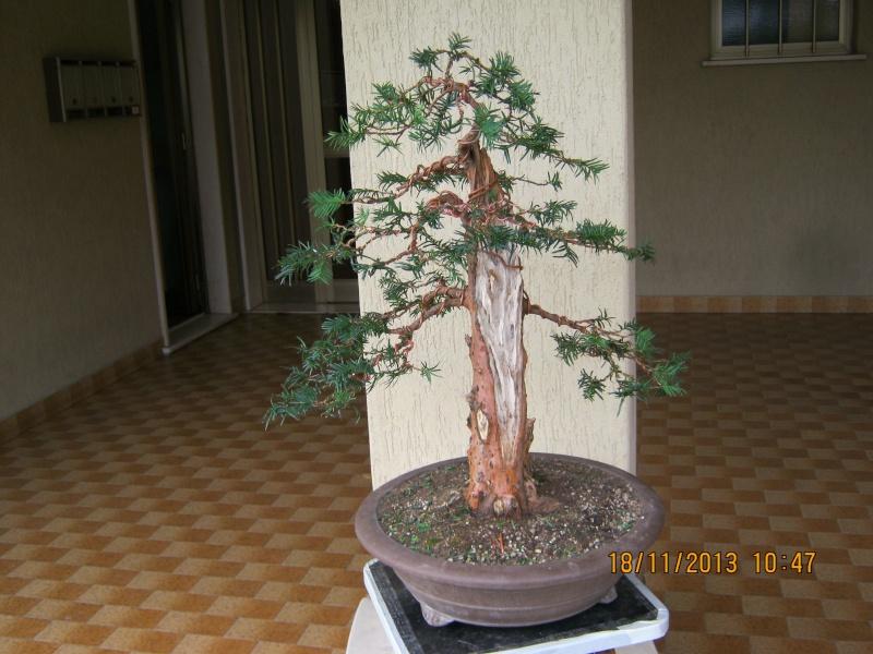 Un tasso che ce la mette tutta per diventare bonsai. Colori16