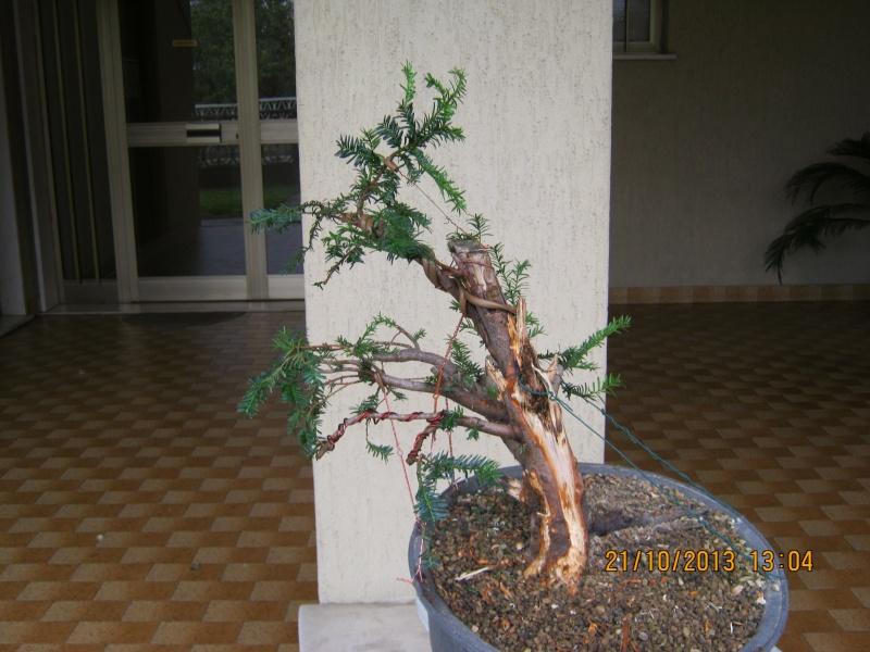 Tasso che fra un pò di tempo comincerà la strada del bonsai Tassi_11