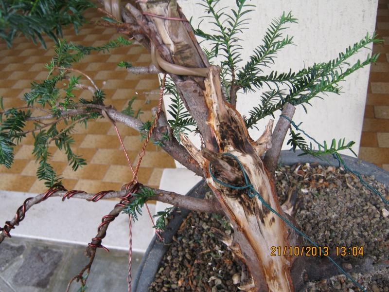 Tasso che fra un pò di tempo comincerà la strada del bonsai Tassi_12