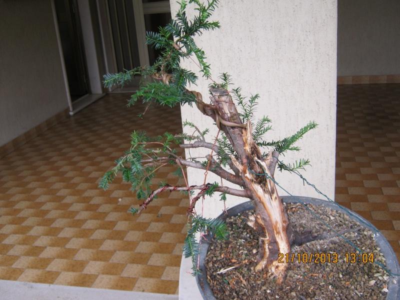 Tasso che fra un pò di tempo comincerà la strada del bonsai Tassi_13