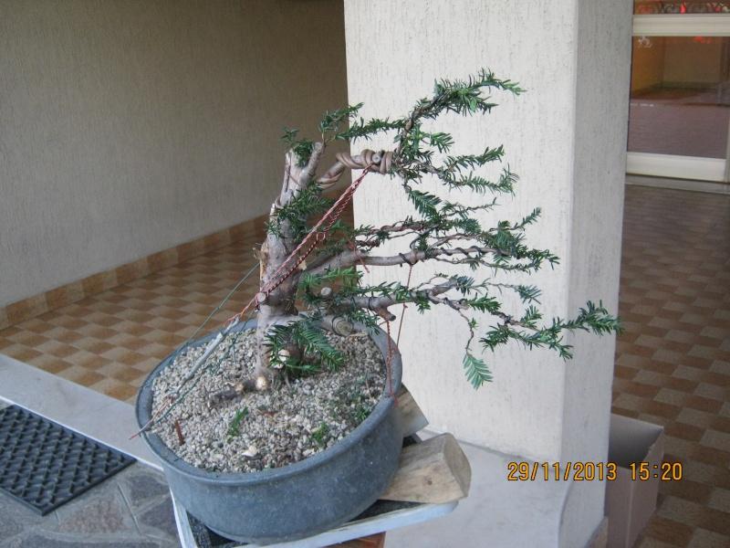 Tasso che fra un pò di tempo comincerà la strada del bonsai Tasso_18