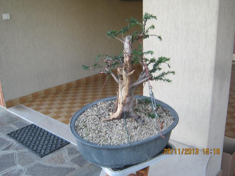 Tasso che fra un pò di tempo comincerà la strada del bonsai Tasso_19