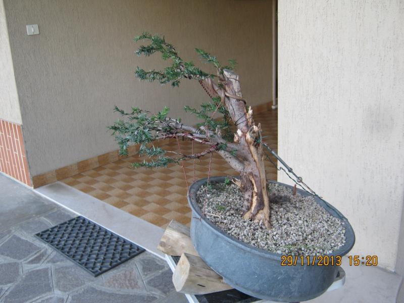 Tasso che fra un pò di tempo comincerà la strada del bonsai Tasso_20