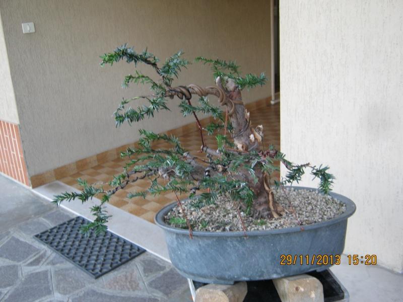 Tasso che fra un pò di tempo comincerà la strada del bonsai Tasso_21