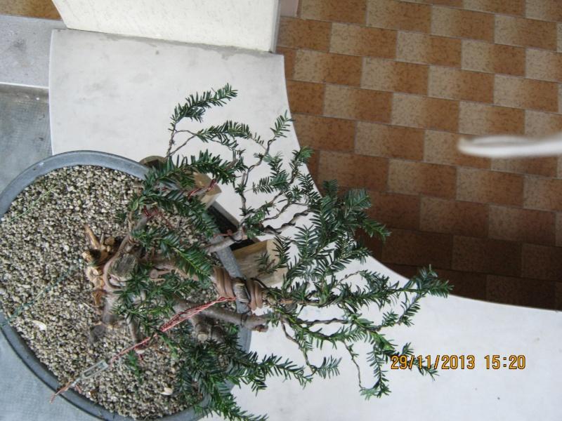 Tasso che fra un pò di tempo comincerà la strada del bonsai Tasso_24